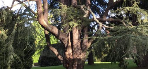 Jardines Históricos (III): Cedro del Líbano