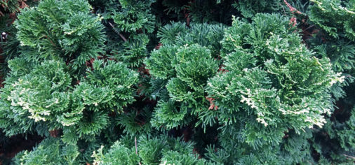 Jardines Históricos (V): Nana gracilis o falso ciprés japonés