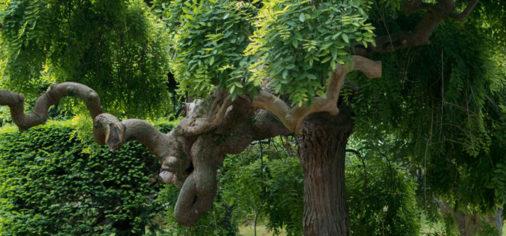 "Jardines históricos (VI): Sófora Péndula. Sophora Japonica ""Pendula"""